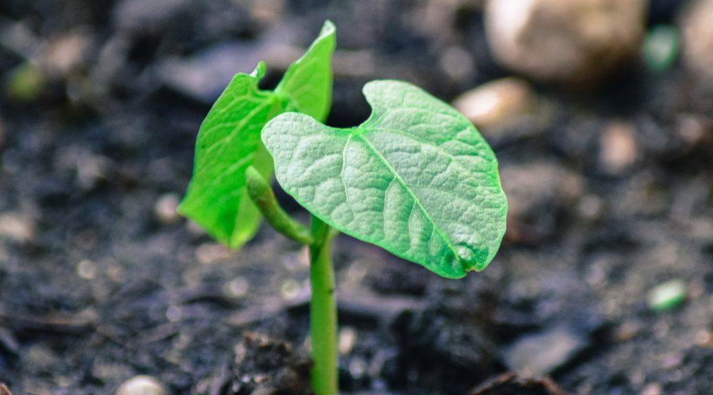 bean plant, new life
